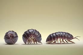 pillbug in curl