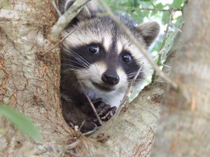 baby-racoon-pictures-cute-animals-pics