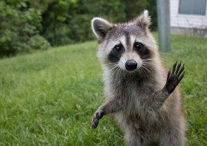Raccoon hands