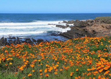 Poppies on the West Coast of California